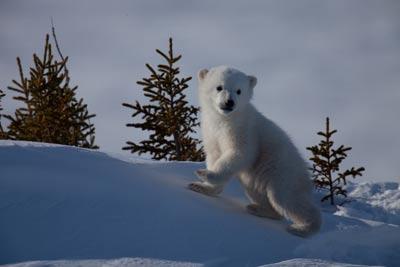 Ourson polaire, photo de Rémy Marion