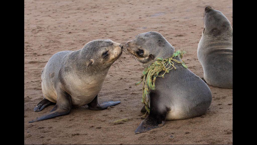 """Cape Fur Seal Pup - Another Innocent Victm"", photo de Susan Pearmain"