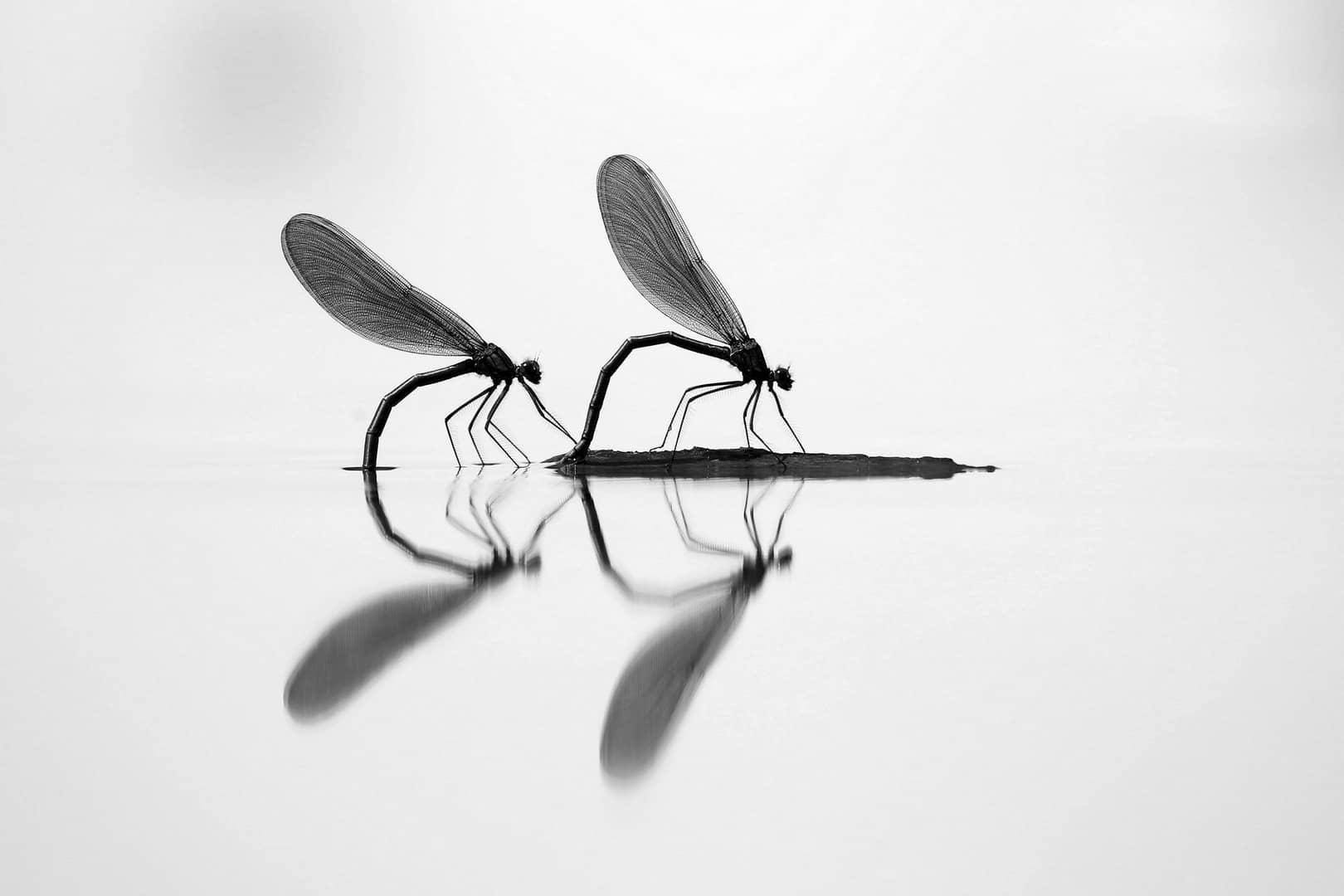 """""""Two Beautiful Demoiselles"""", photo de Marjan ARTNAK"""