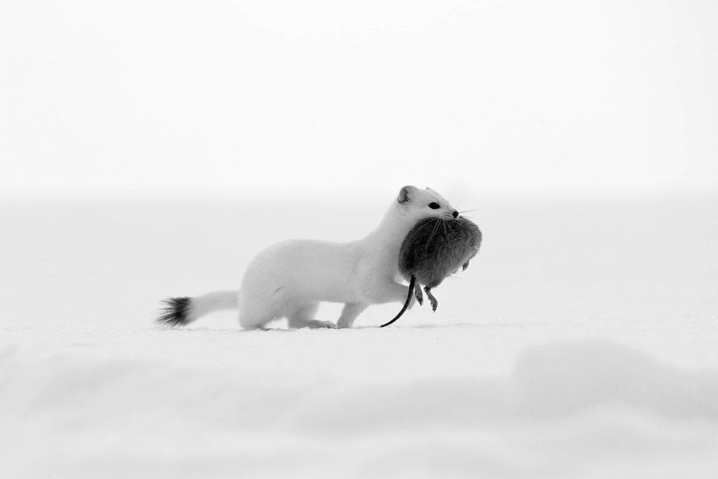 """""""White Death Two BW"""", photo de Marjan Artnak"""