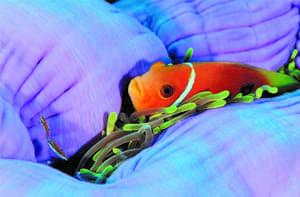 Poisson clown des Maldives, photo de Frédéric Larrey
